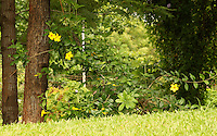 Lush green sloped grassland with plants of pretty yellow Allamanda flowers and trees.