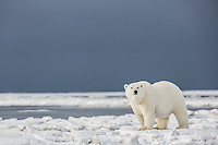 Polar bear in snow, arctic Alaska