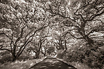 An infrared capture transforms the magnificently contorted oaks that line the rural roads on California's Point Reyes Peninsula into a study of light and dark forms.