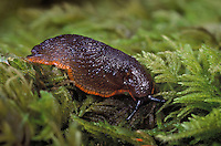BLACK SLUG. Reddish-brown phase..One of the most destructive slugs..Pacific Coast, North America..(Arion ater).