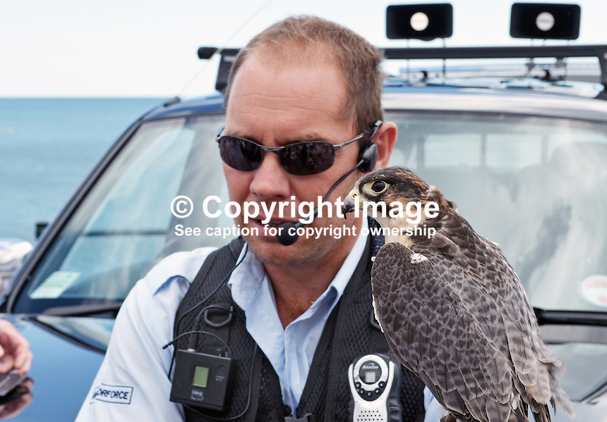 Raptorforce handler with peregrine falcon which he used in a pest control demonstration on the seafront at Sidmouth, Devon, on 8th July 2014. The pest in this case was seagulls. For more information go to www.raptorforce.com. 201407083393<br /> <br /> Copyright Image from Victor Patterson, 54 Dorchester Park, Belfast, UK, BT9 6RJ<br /> <br /> Tel: +44 28 9066 1296<br /> Mob: +44 7802 353836<br /> Voicemail +44 20 8816 7153<br /> w: victorpatterson.com<br /> <br /> e1: victorpatterson@me.com<br /> e2: victorpatterson@gmail.com<br /> <br /> <br /> IMPORTANT: Please see my Terms and Conditions of Use at www.victorpatterson.com