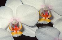 Phalaenopsis Vienna 'Zuma Canyon', HCC/AOS.  Moth Orchid hybrid of Universal Princess x Sara Loeb