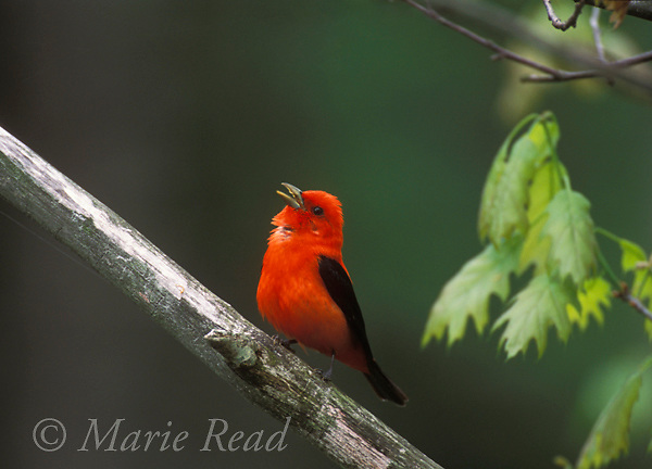 Scarlet Tanager (Piranga olivacea) male singing in spring, newly-open oak leaves in background, New York, USA<br /> ASlide # B165-336R