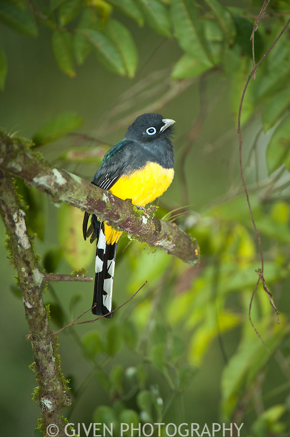 Black-headed Trogon, Belize