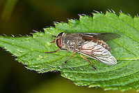 Bremse, Pferdefliege, Hybomitra distinguenda, Horsefly, Horse-fly, Bremsen, Tabanidae, Horseflies, Horse-flies