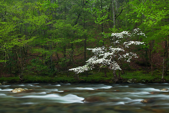 Dogwood along Little River, Little River Gorge