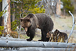 Grizzly bear sow and young cubs on log. Yellowstone National Park, Wyoming.