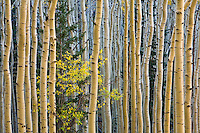 Small yellow tree of the genus Prunus,  probably chokecherry amid grove of autumn aspen trees on mountain slopes in San Francisco Peaks, Coconino National Forest, Arizona, AGPix_1883.
