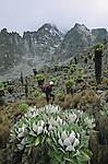 Senecon geant  au dessus du refuge de Shirimon. Vue prise à 4400 m au pied du Batian et Nelion.
