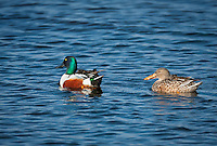 Male and Female Northern Shoveler swimming