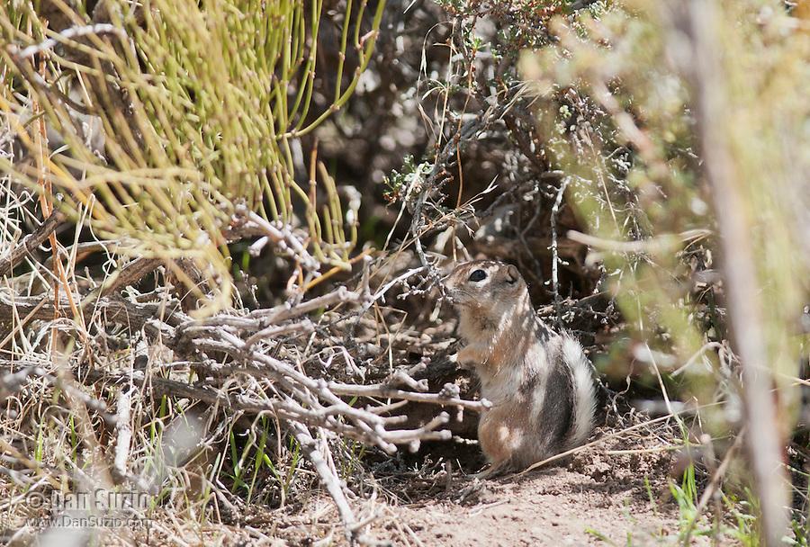Antelope ground squirrel, Ammospermophilus leucurus, in Saline Valley, Death Valley National Park, California