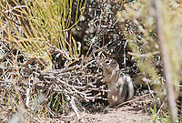 Antelope ground squirrel, Ammospermophilus leucurus, in Saline Valley, Death Valley National Park, California