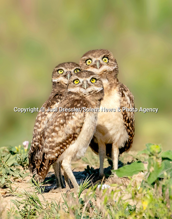 Pictured:   A trio of young burrowing owls appear to pose for the camera in Colorado, USA.<br /> <br /> Wildlife photographer Judi Dressler, 71, who captured this charming picture said that in fact, they were looking up in unison at a kingbird, which often harrasses them.<br /> <br /> The young owls are capable of catching bugs for snacks, but still rely on their parents to bring their meals, which mainly consist of voles or mice, grass snakes, frogs, or crickets and grasshoppers.  As the owls grow bigger, they will gradually move their hunting grounds away from the burrow. <br /> <br /> Please byline: Judi Dressler/Solent News<br /> <br /> ©  Judi Dressler/Solent News & Photo Agency<br /> UK +44 (0) 2380 458800