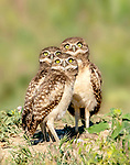Trio of owls posing for pic by Judi Dressler