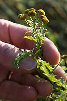 Rainfarn, Rain-Farn, Räucherkräuter, Tanacetum vulgare, Chrysanthemum vulgare, Tansy