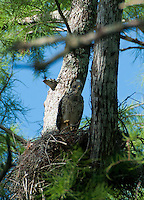 Juvenile Red-Shouldered Hawk (Buteo lineatus) at the Nest, Corkscrew Preserve, Naples, Florida, US