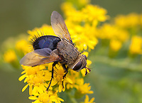Tachinid fly; Archytas (probably apicifer) on goldenrod; PA, Philadelphia; Morris Arboretum