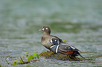 Harlequin Duck (Histrionicus histrionicus) Pair along a fast flowing mountain stream.  Pacific Northwest.  Spring.