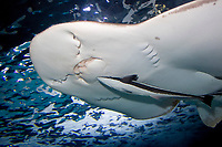 Live Sharksucker (Echeneis naucrates) (c) A species of Remora. Clinging to the underside a Bowmouth Guitarfish (Rhina ancylostom) also known as the Shark Ray or Mud Shark.