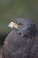 Harris's Hawk seen up close at southern Arizona's Sonoran Desert Museum