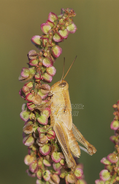 Grasshopper, Acrididae, adult with dew, Welder Wildlife Refuge, Rockport, Texas, USA