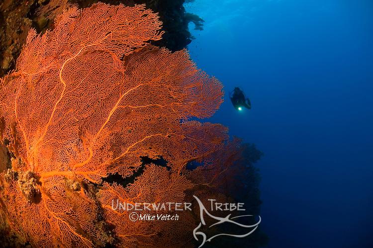 Gorgonian seafan and diver, Subergorgia sp., Layang Layang atoll, Sabah, Malaysia, South China Sea, Pacific Ocean