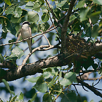 Schwarzstirnwürger, Männchen am Nest, Schwarzstirn-Würger, Würger, Lanius minor, lesser grey shrike, male, La Pie-grièche à poitrine rose