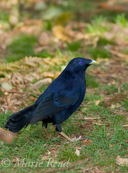 Satin Bowerbird (Ptilonorhynchus violaceus) male, Bunya Mountains National Park, Queensland, Australia