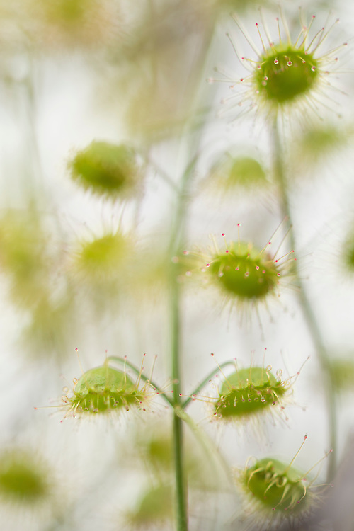 Drosera species.Wildflower country. Eneabba, Western Australia.