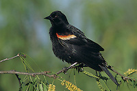 Red-winged Blackbird, Agelaius phoeniceus,male, Welder Wildlife Refuge, Sinton, Texas, USA