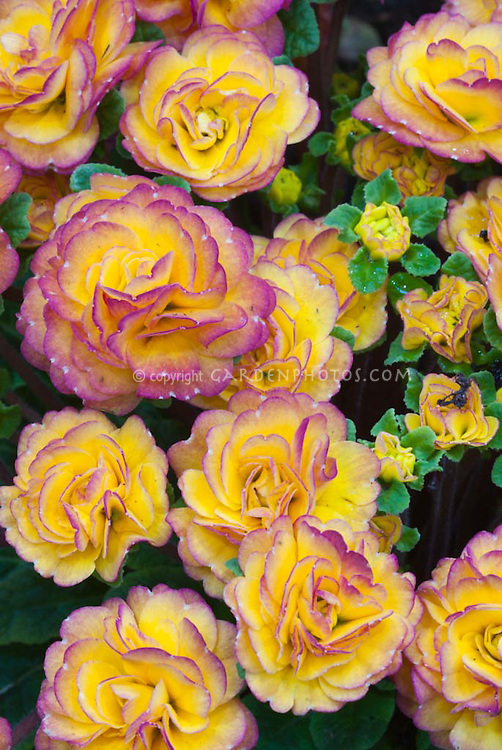 Closeup of double yellow and red flowers of primrose Primula 'Belarina Seres Nectarine'