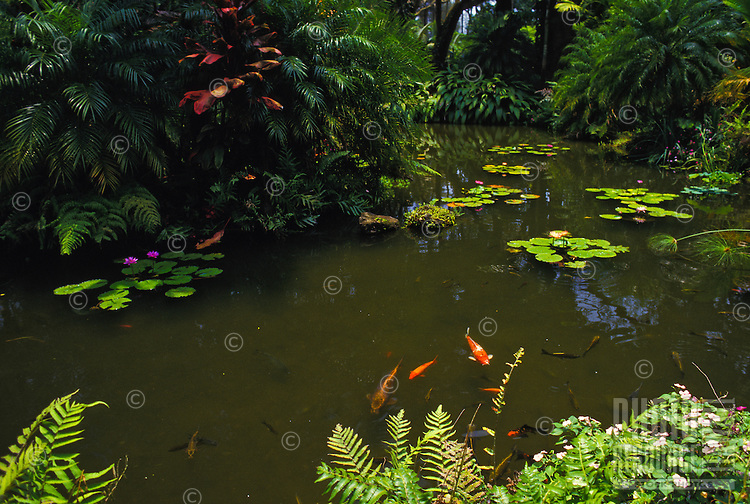 Water lily pond with koi fish swimming