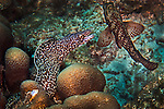 25 January 2016: A Spotted Moray Eel (Gymnothorax moringa) swims on the reef at Captain Don's Habitat in Bonaire. Bonaire is known for its pioneering role in the preservation of the marine environment. A part of the Netherland Caribbean Islands, Bonaire is located off the coast of Venezuela and offers excellent scuba diving, snorkeling and windsurfing.  Mandatory Credit: Ed Wolfstein Photo *** RAW (NEF) Image File Available ***