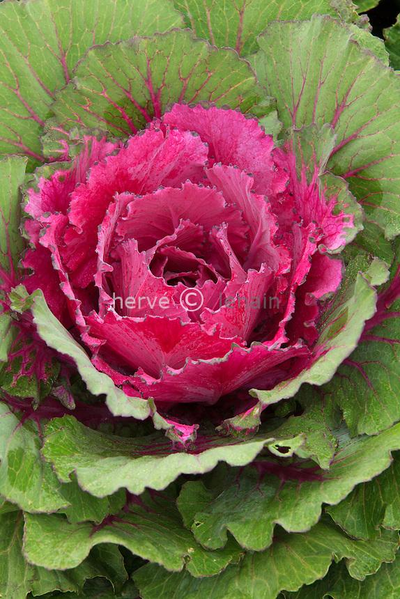chou d'ornement 'Pigeon Purple', Brassica oleracea 'Pigeon Purple' // ornamental cabbage 'Purple Pigeon'