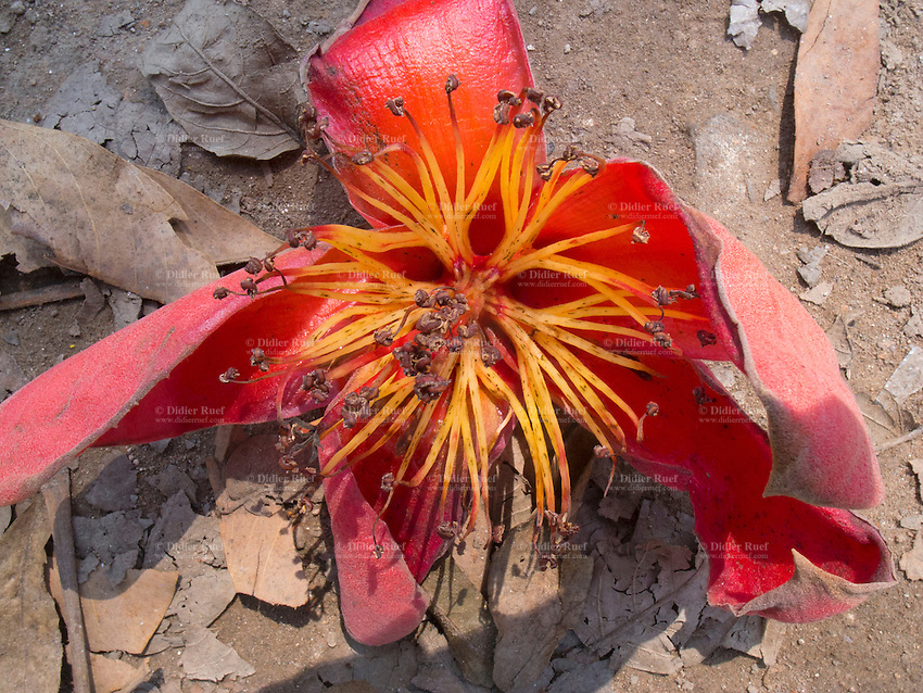 India. Uttar Pradesh state. Allahabad. Red flower fallen from a tree. 27.02.13 © 2013 Didier Ruef??