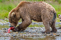 Alaska Peninsula brown bear, grizzly bear, Ursus arctos horribilis, feeding on salmon in the river, Katmai National Park and Preserve, Alaska, USA