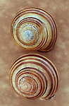Two brown and cream striped shells of Grove snail or Cepaea nemoralis on antique paper