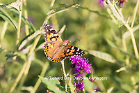 03406-01215 Painted Lady Butterfly (Vanessa cardui) on Missouri Ironweed (Vernonia missurica), Marion Co., IL
