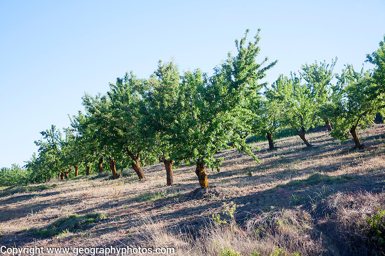 Trees in an olive grove near Alhama de Granada, Spain.