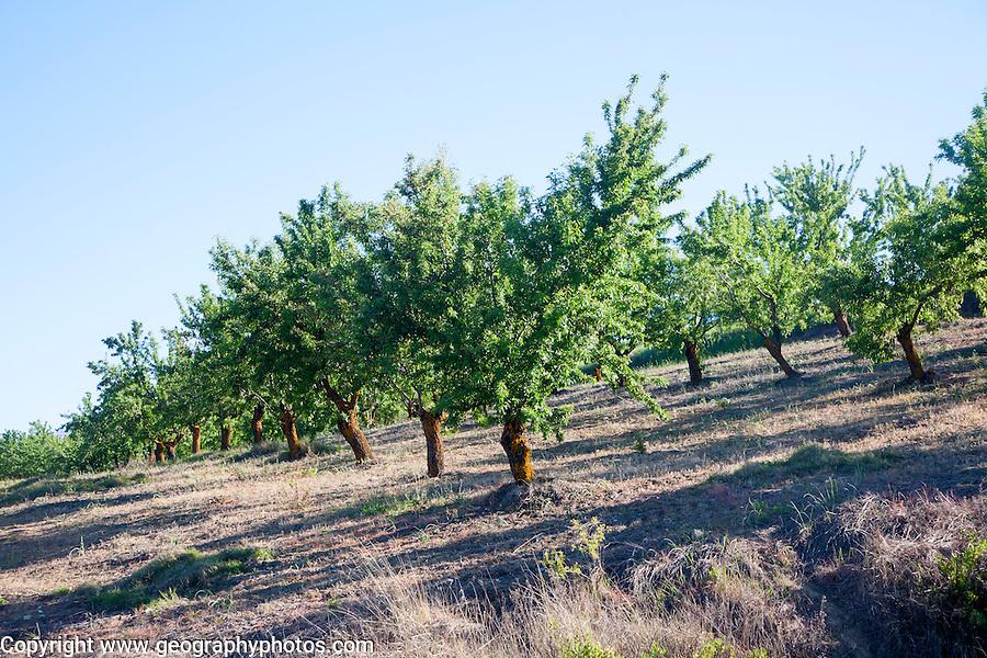 Trees in an olive grove near Alhama de Granada, Spain.