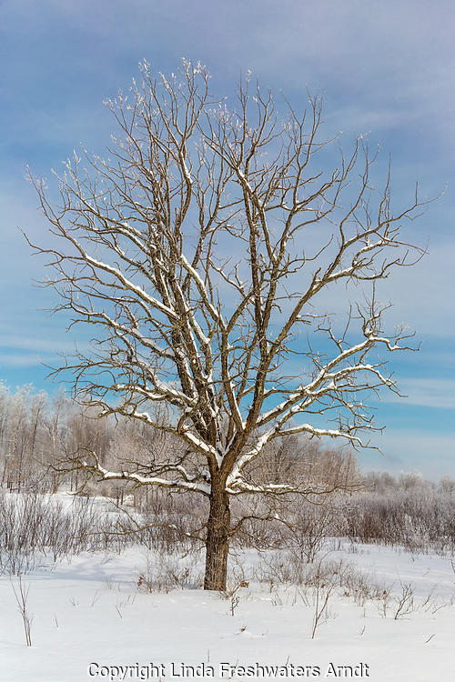 Bur oak in northern Wisconsin
