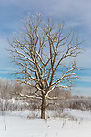 Bur oak in northern Wisconsin