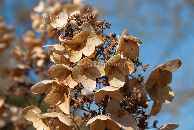 Hydrangea paniculata, dried flowers and seeds