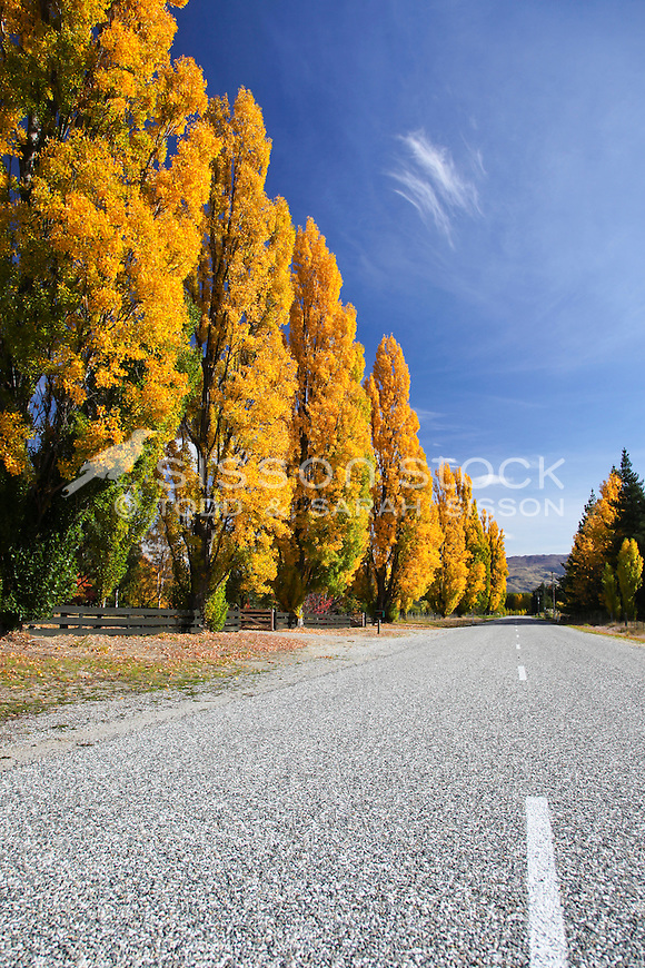 Poplar trees and blue sky with white clouds in central Otago, South Island of New Zealand. Road in shot, dramatic wide angle variations. Vivid Autumn Colour (Color).