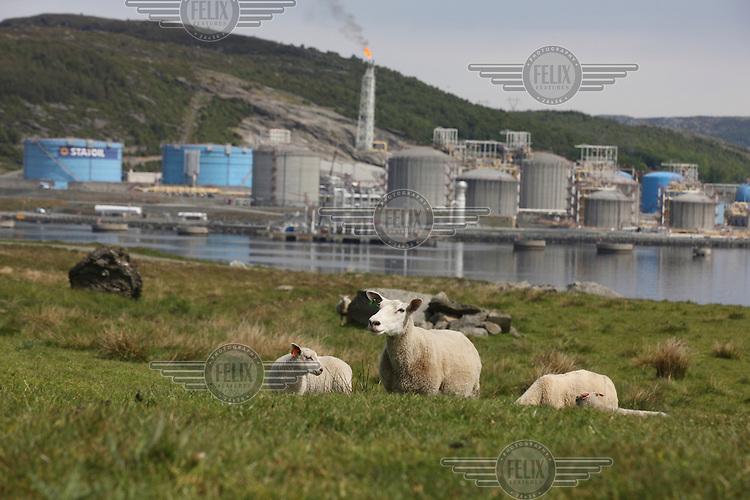 Sheep graze in front of the Statoil Karsto gas plant in Tysvaer.
