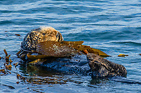 Sea Otter (Enhydra lutris) resting in kelp. California Coast.  Being wrapped in kelp helps keep the otter from drifting away with the tide/current/wind while resting.