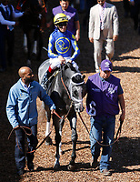 DEL MAR, CA - NOVEMBER 04: Stainless #6, ridden by John Velazquez, walks in the paddock before the 14 Hands Winery Breeders' Cup race on Day 2 of the 2017 Breeders' Cup World Championships at Del Mar Racing Club on November 4, 2017 in Del Mar, California. (Photo by Kazushi Ishida/Eclipse Sportswire/Breeders Cup)