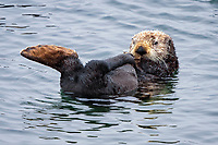 Sea otter (Enhydra lutris nereis) grooms fur while back flipper is held up out of the water @ Moss Landing, Monterey Bay National Marine Sanctuary, Monterey, California, USA, Pacific Ocean