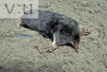 Common or Eastern Mole ,Scalopus aquaticus,, North America.