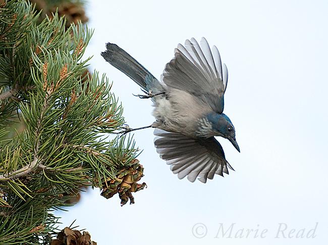 Western Scrub-jay (Aphelocoma californica), taking flight from Pinyon Pine, Mono Lake Basin, California, USA